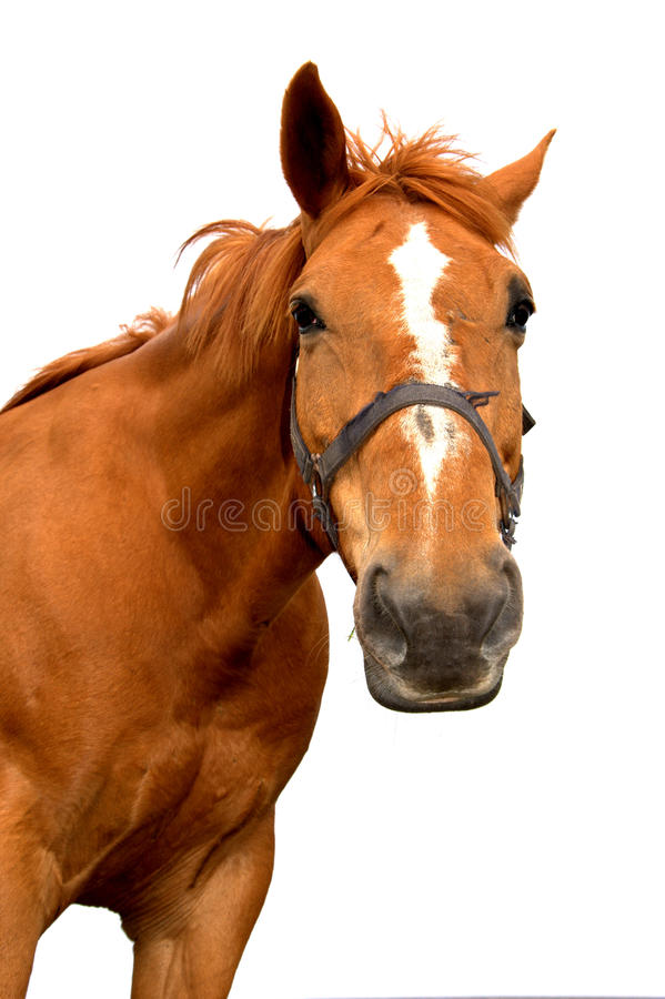 Download Isolated horse stock image. Image of brown, close, beautiful - 14862185