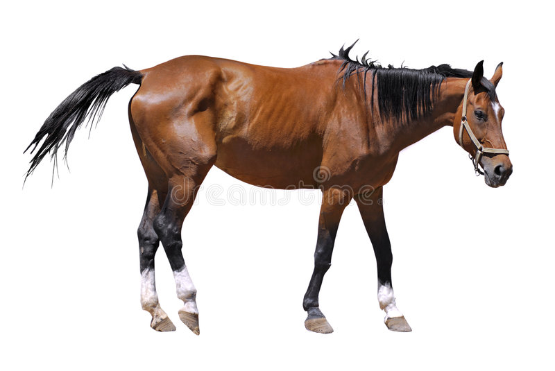 Isolated horse. Of profile with a harness stock image