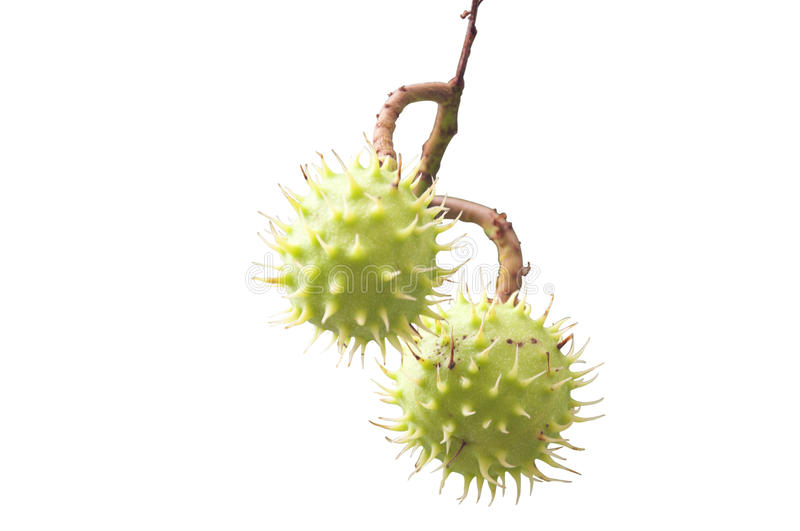 Download Isolated Horse Chestnuts stock image. Image of organic - 33217877
