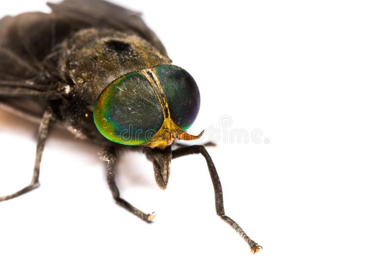 Download Isolated of Horse Fly stock image. Image of fly, face - 26668141