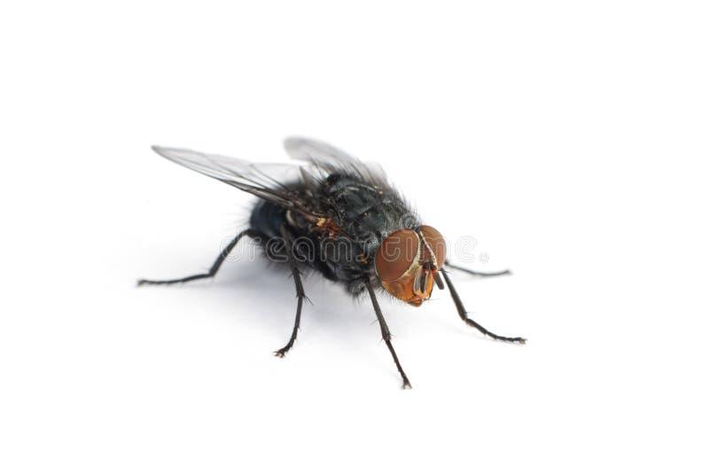 Isolated housefly royalty free stock photo