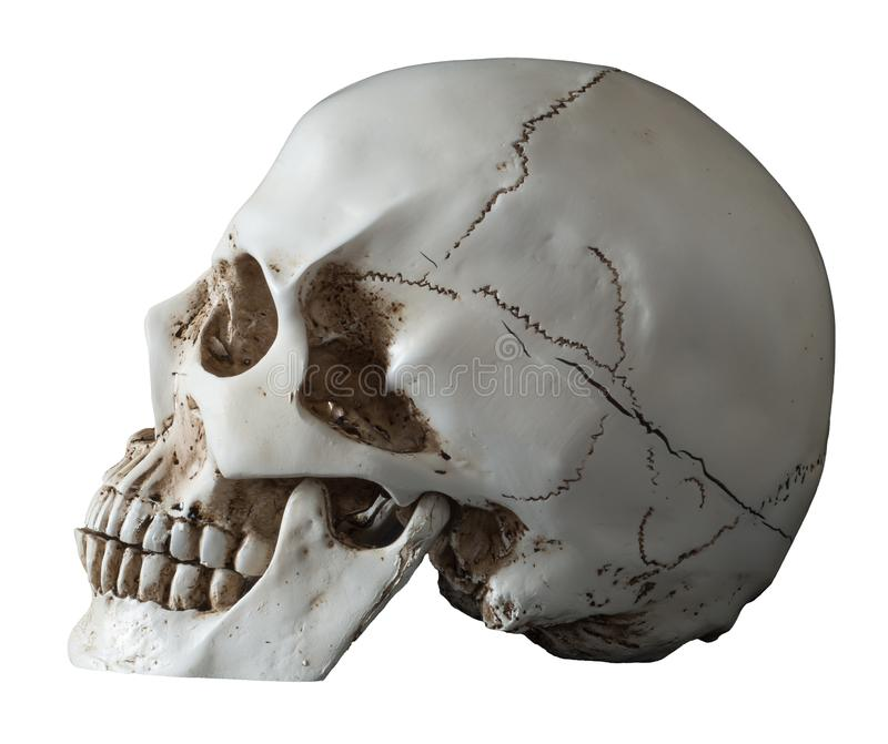 Isolated Human Skull Lateral View. Lateral view of a human skull isolated on white and posed in 3 quarters. nParietal, coronal, sphenoid, ethmoid, lacrimal stock image