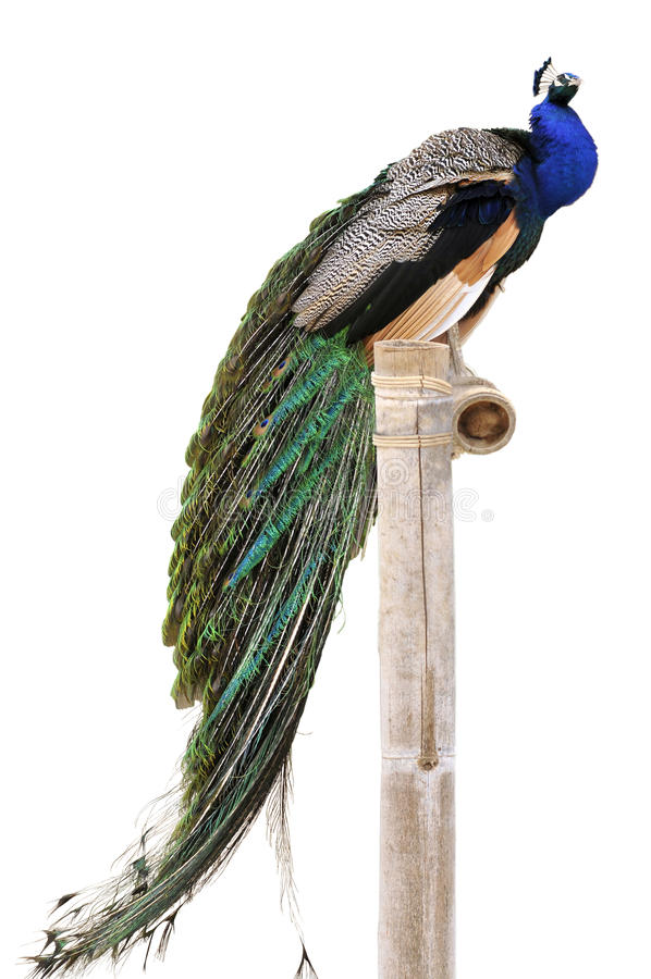 Isolated Indian Peafowl On Perch Stock Photo