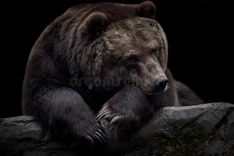 Pretty brown Kamchatka bear (Ursus arctos beringianus) portrait isolated on a black background royalty free stock images