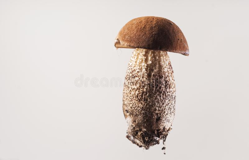 Isolated King Bolete. A nice young king bolete is displayed on a light background with copy-space stock image
