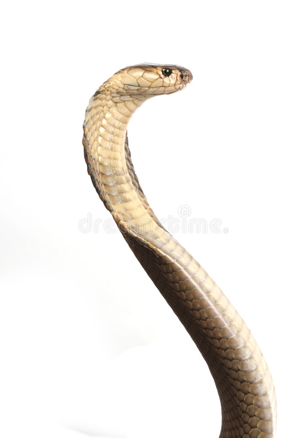 Isolated king cobra stock photo