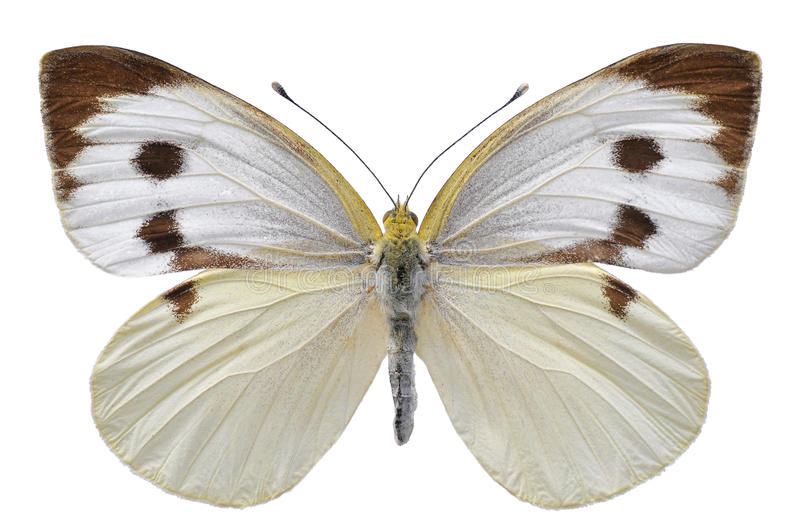 Isolated Large White butterfly royalty free stock photos
