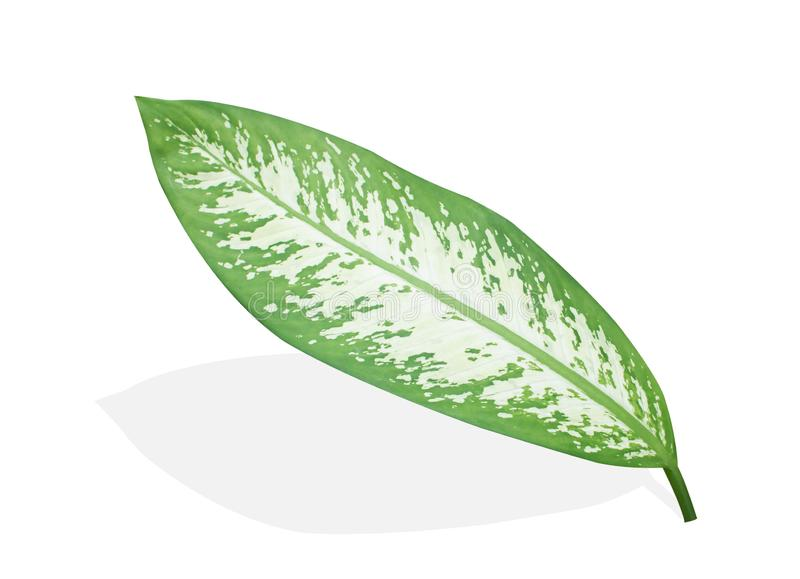 Isolated leaf on white background. Isolated leaf of Dieffenbachia on white background stock photo