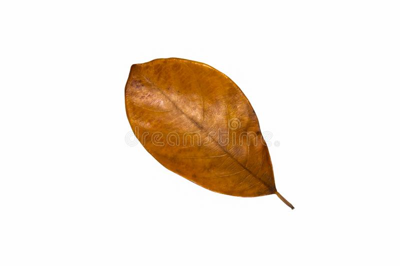 Isolated leave on white background stock photography