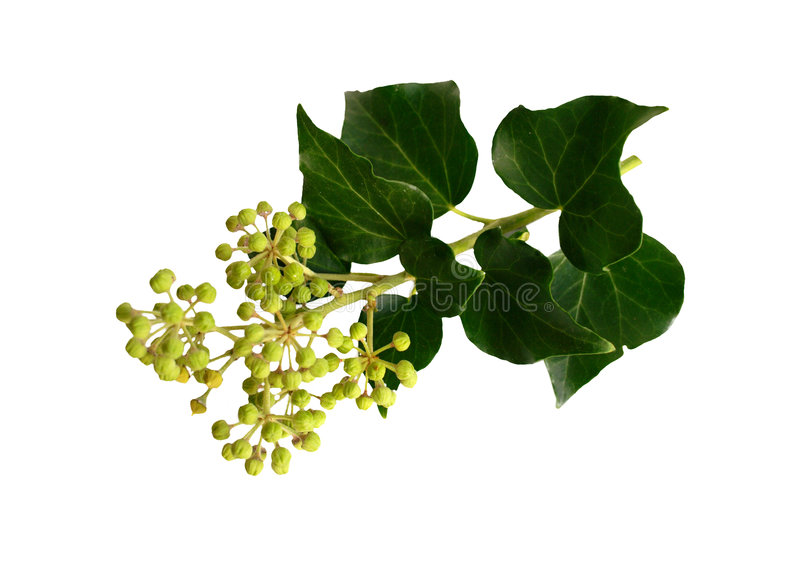 Download Isolated Leaves And Berries Stock Photo - Image: 7269020