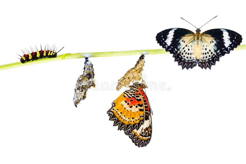 Isolated Leopard lacewing butterfly life cycle. Isolated Leopard lacewing (Cethosia cyane euanthes) butterfly , caterpillar, pupa and emerging with clipping path royalty free stock photo