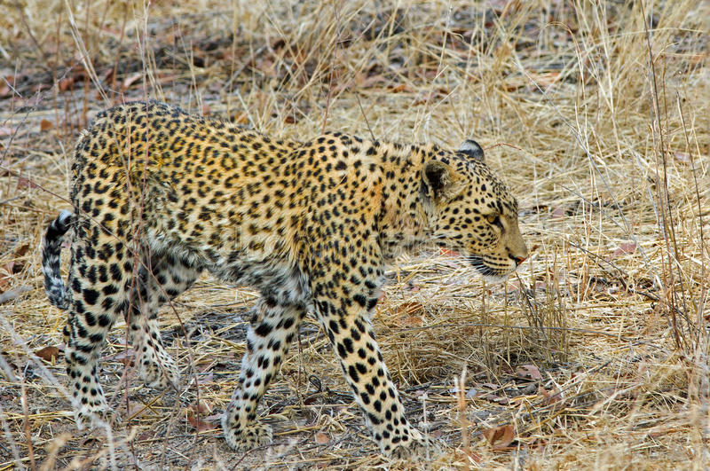 An Isolated Leopard walking through the bush in Etosha National Park stock photography