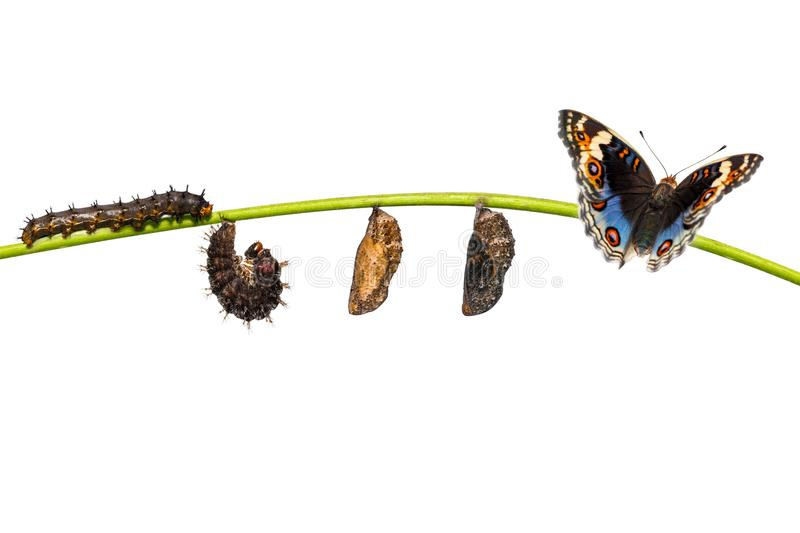 Isolated life cycle of blue pansy butterfly Junonia orithya Li. Isolated life cycle of male blue pansy butterfly Junonia orithya Linnaeus on twig stock image
