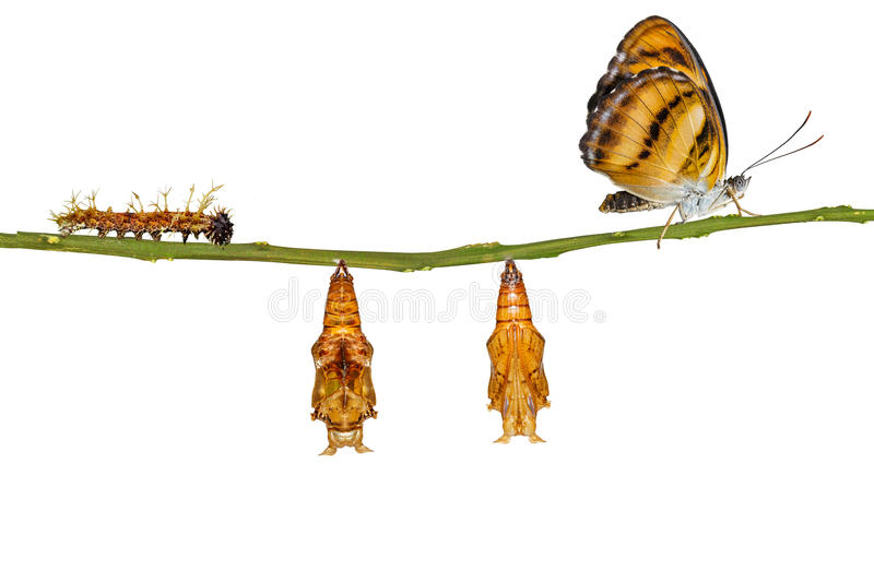 Isolated life cycle of colour segeant butterfly hanging on twig. Isolated life cycle of colour segeant butterfly ( Athyma nefte ) from caterpillar and pupa stock images