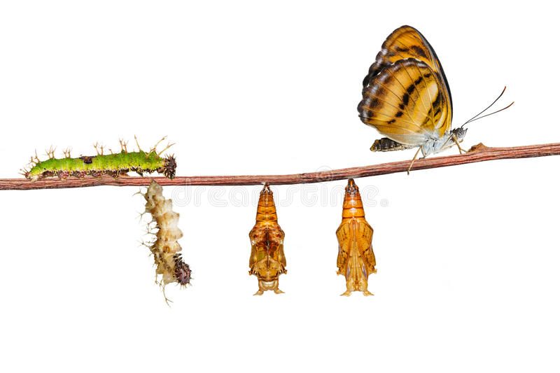 Isolated life cycle of colour segeant butterfly on white. Isolated life cycle of colour segeant butterfly ( Athyma nefte ) from caterpillar and pupa on white royalty free stock images