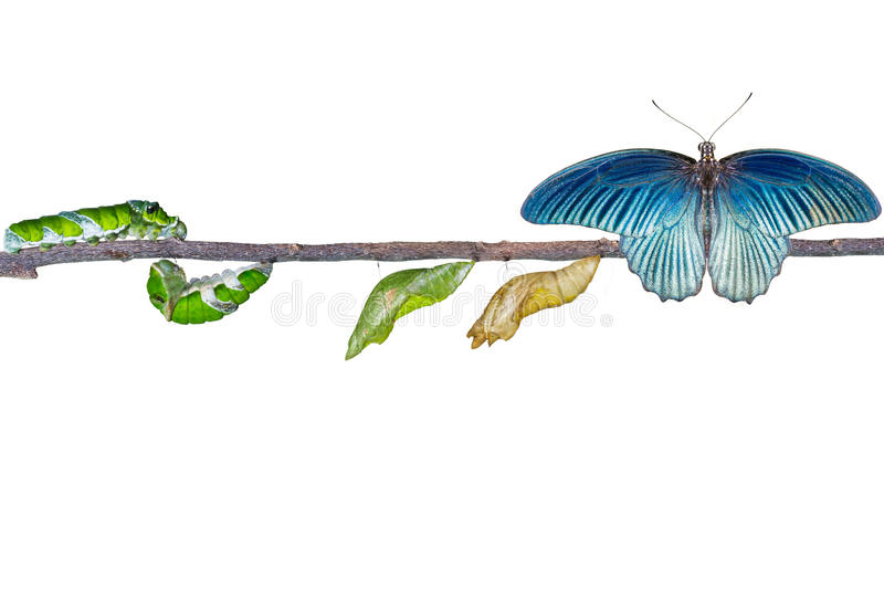 Isolated life cycle of male great mormon butterfly from caterpil. Isolated life cycle and transformation of male great mormon butterfly from caterpillar with royalty free stock photography