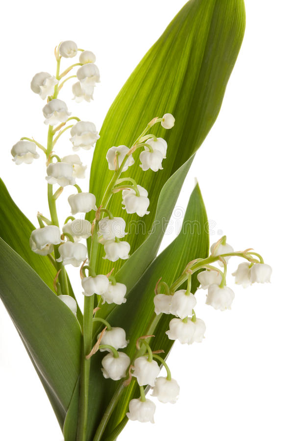 Download Isolated Lilly Of The Valley Stock Photo - Image: 13890534