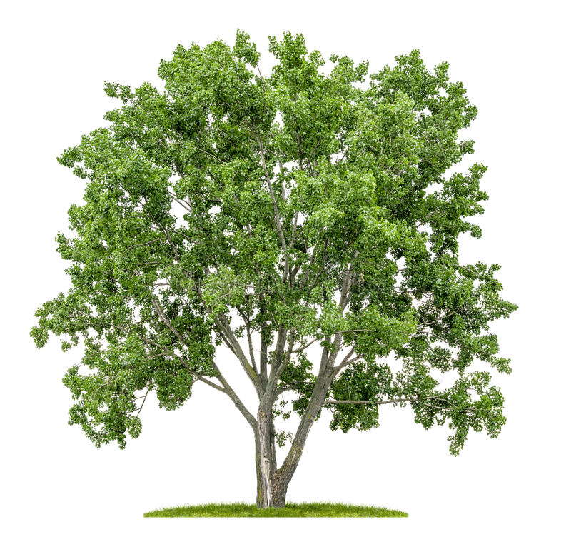 Isolated lime tree. On a white background stock image