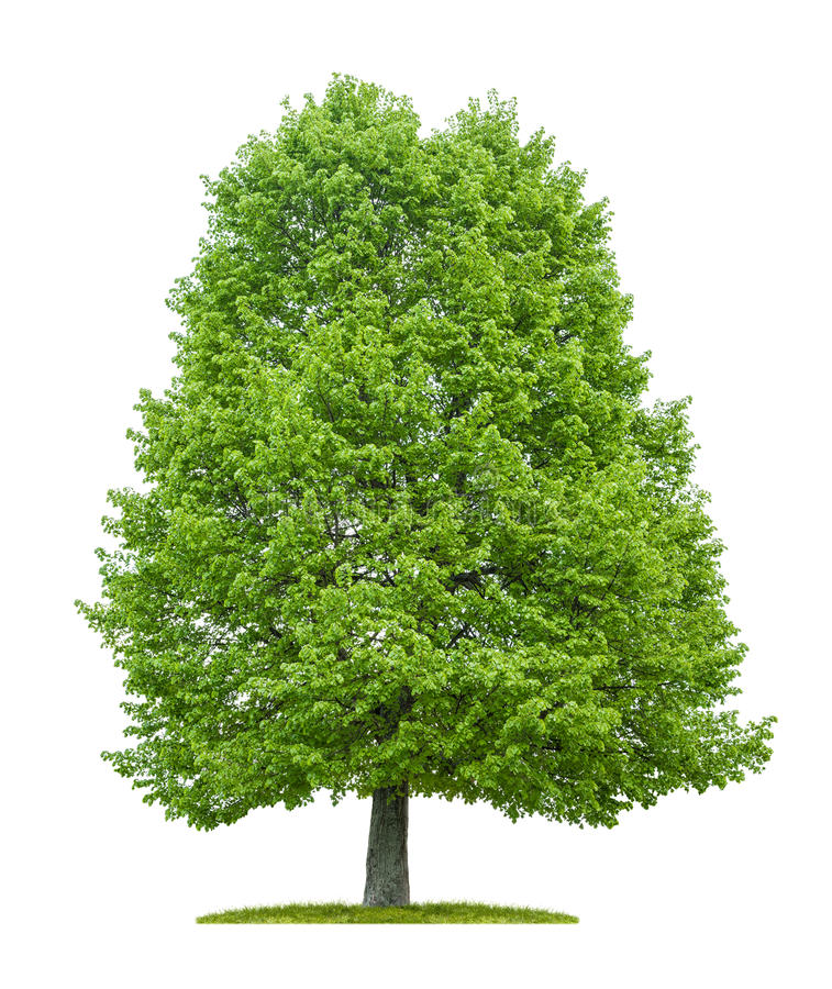 Isolated lime tree on a white background royalty free stock photo