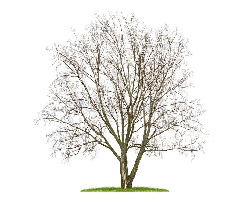 An isolated lime tree in the winter. Isolated lime tree in the winter stock photo