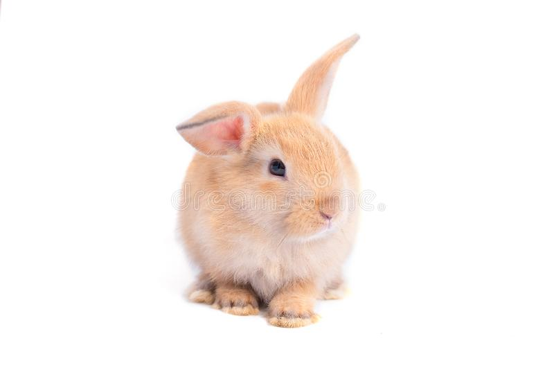 Isolated little brown adorable rabbit bunny on white background with some actions royalty free stock photography