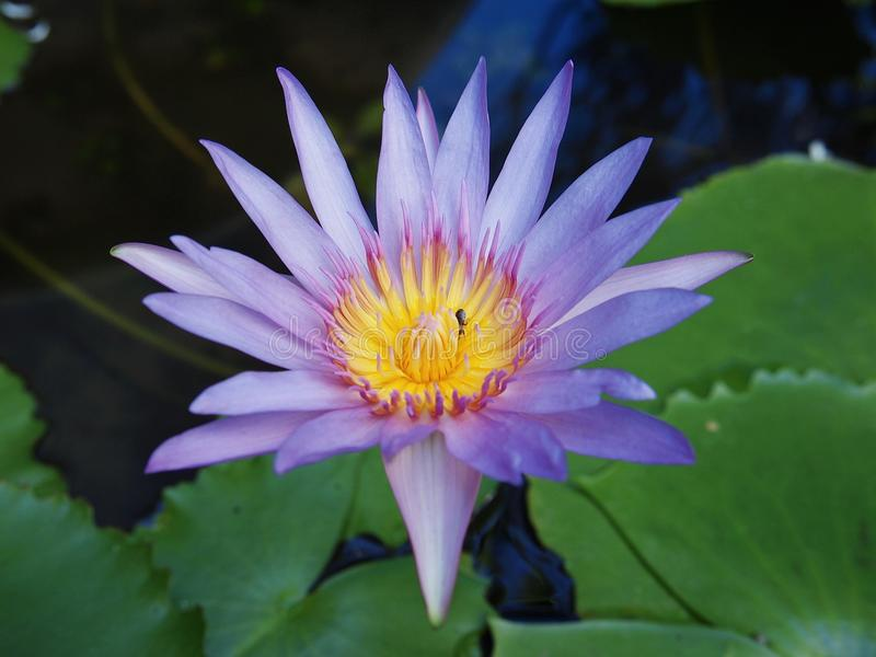Isolated lotus purple. Lotus Purple outstanding in the water stock image
