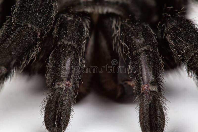 Isolated macro photo of spider. On white background royalty free stock image