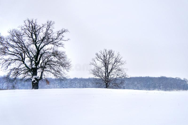 Two majestic oak trees in winter, forest in background stock photo