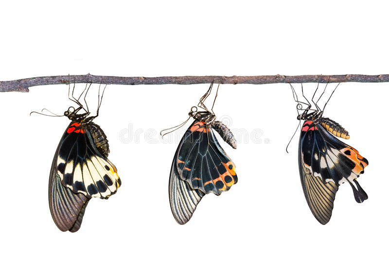 Isolated male and female great mormon butterfly royalty free stock photography