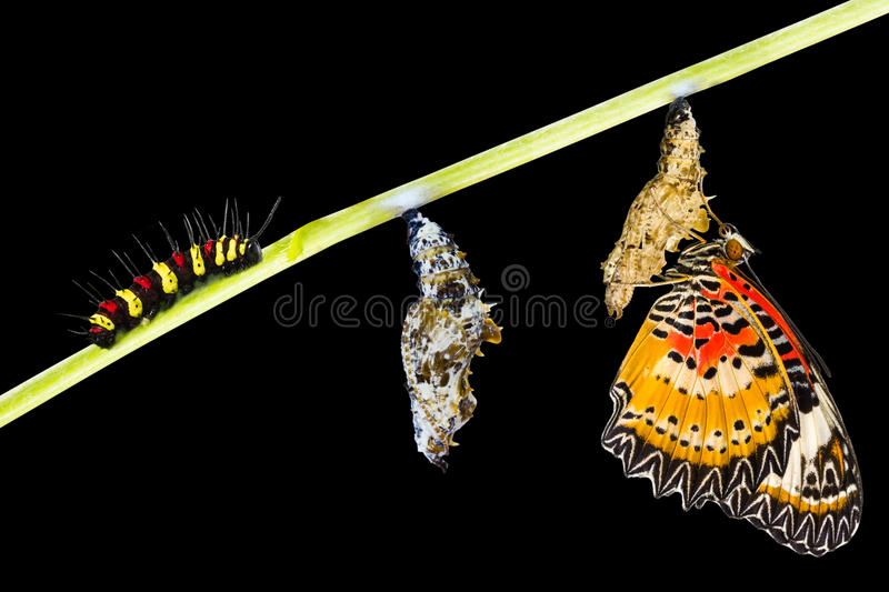 Isolated Male Leopard lacewing butterfly life cycle royalty free stock photography
