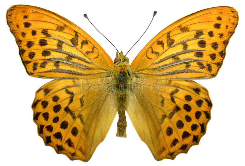 Isolated male Silver-washed Fritillary butterfly stock photos