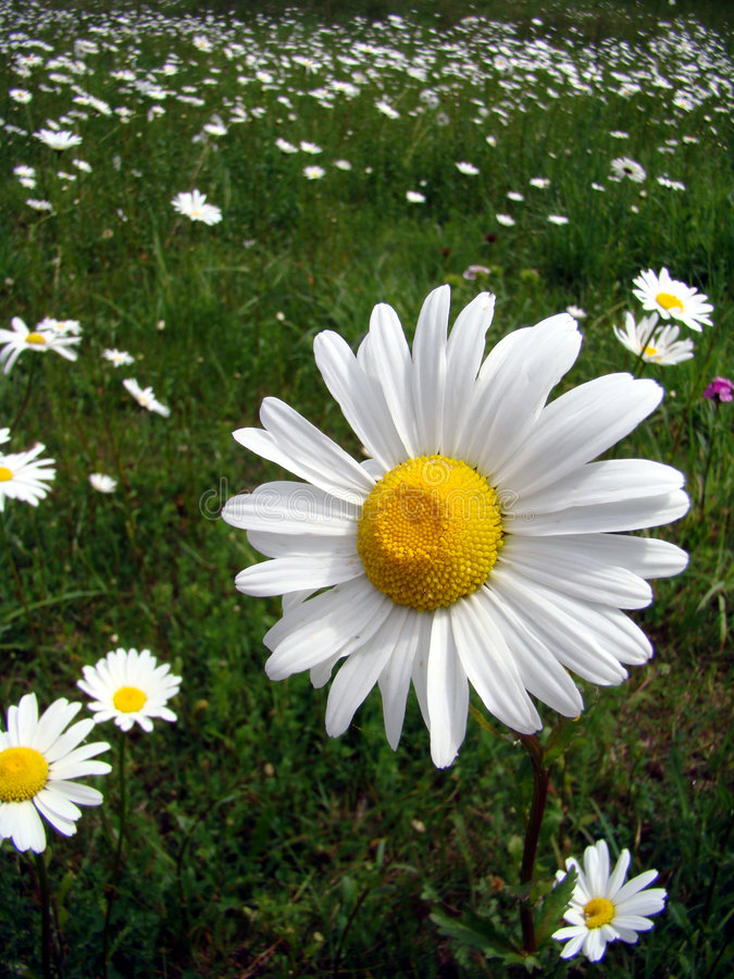 Isolated marguerite. Lonely isolated marguerite in green field width others marguerites in background royalty free stock photos