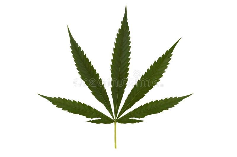 Isolated marihuana leaf royalty free stock photography