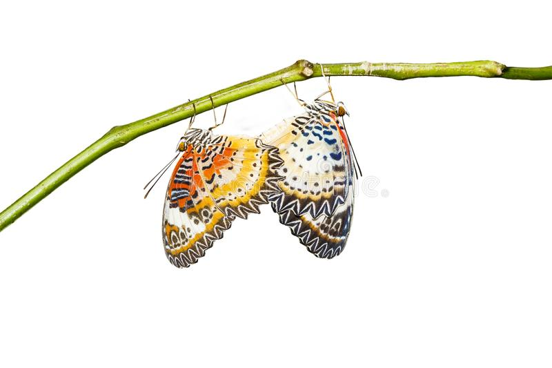 Isolated mating Leopard lacewing Cethosia cyane euanthes butte. Rfly hanging on twig with clipping path stock photography