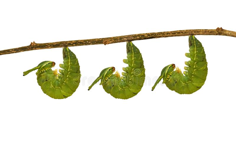 Isolated mature caterpillar of common nawab butterfly Polyura stock photography