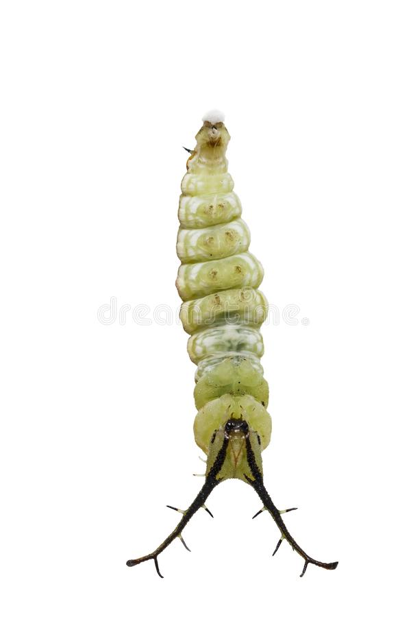 Isolated mature caterpillar of Tabby butterfly Pseudergolis we stock images