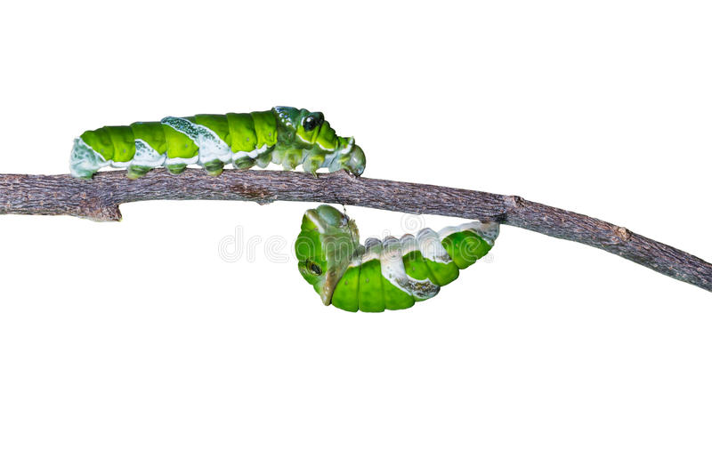 Isolated mature caterpillars of great mormon butterfly hanging a. Isolated mature caterpillars of great mormon butterfly with clipping path royalty free stock image
