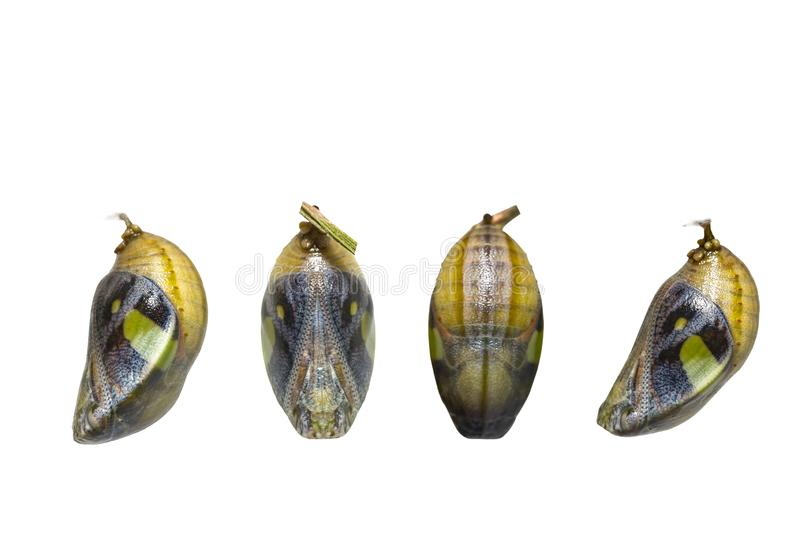 Isolated mature chrysalis of common nawab butterfly Polyura at stock image