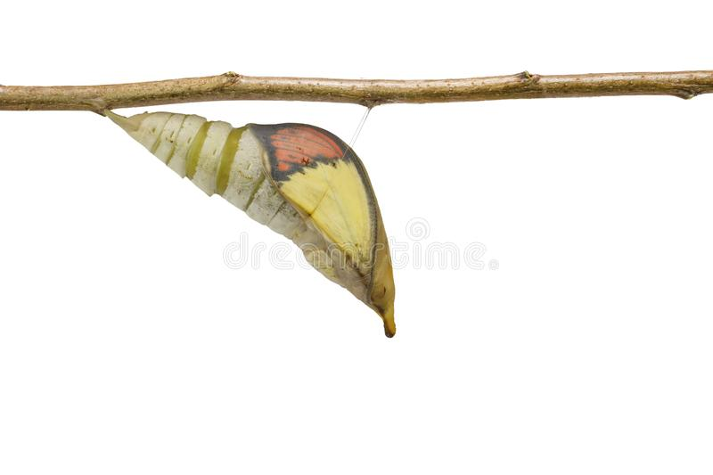 Isolated mature chrysalis of great orange tip butterfly Anthoc stock image