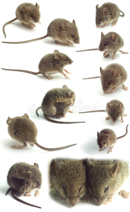 Isolated mice. Isolated small grey house mice
