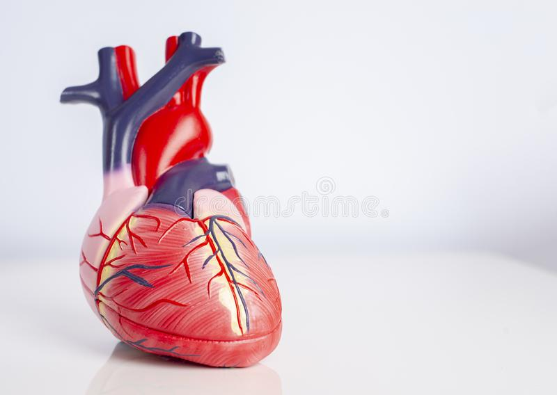 Isolated model of a human heart royalty free stock photos