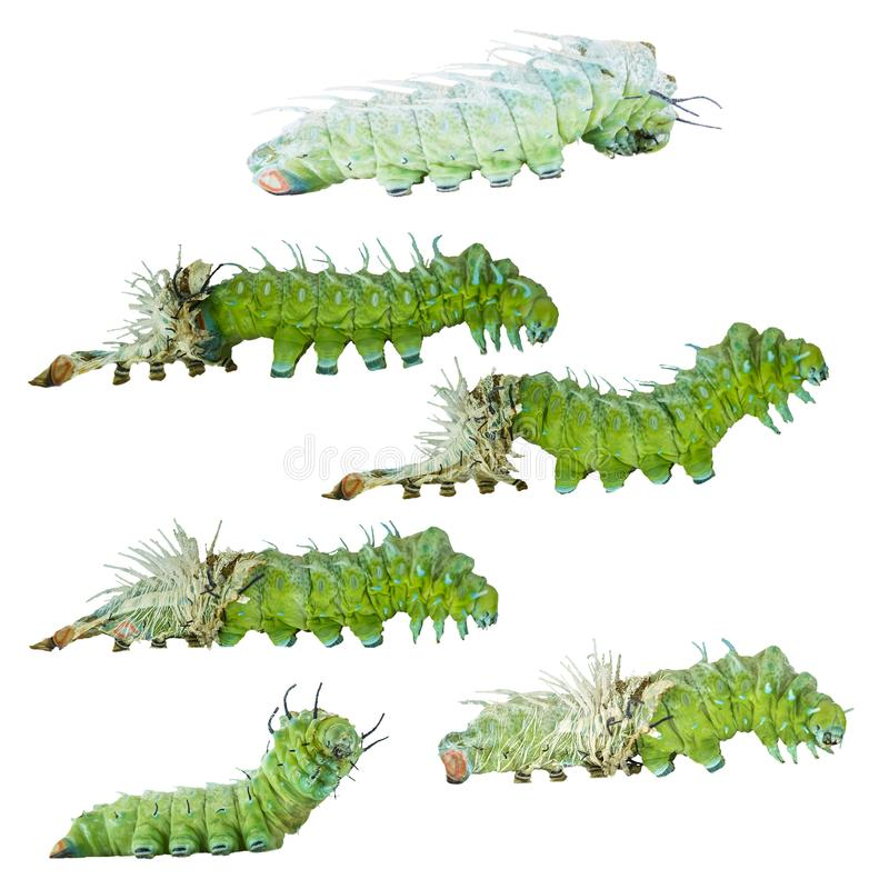 Isolated molting caterpillar stage of Atlas butterfly atlas; a stock image