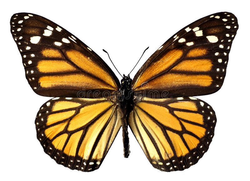 Download Isolated monarch butterfly stock photo. Image of butterfly - 4144786