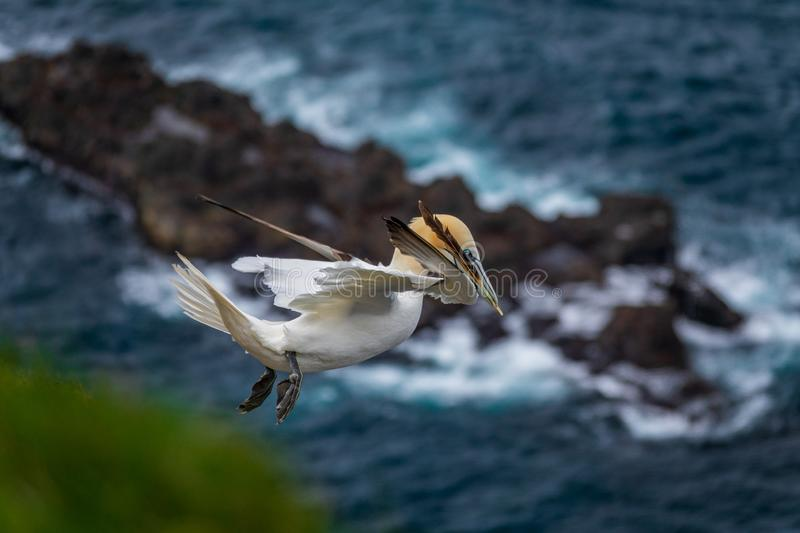 Isolated Morus bassanus flying over island with feather on beak. Spectacular profile view of isolated Morus bassanus flying over rock island in the ocean with royalty free stock photography