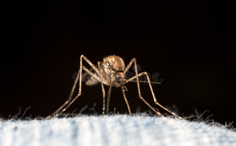 Download Isolated Mosquito stock image. Image of black, blue, hair - 14758731