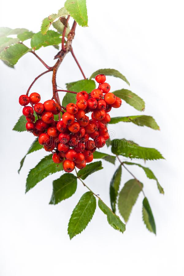 Mountain Ash Sorbus sitchensis. An isolated mountain ash branch with red berry cluster royalty free stock images