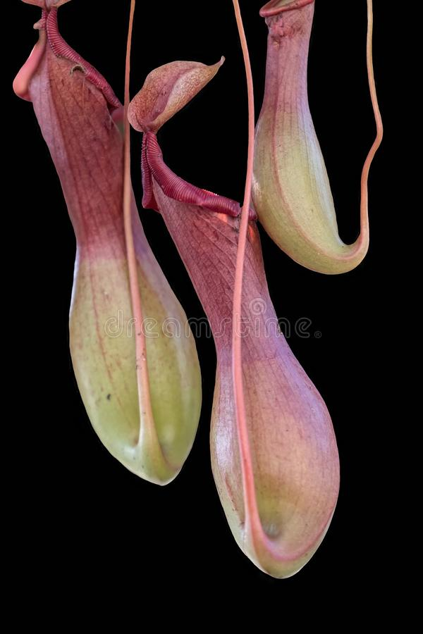 Isolated nepenthes carnivorous plant on black stock photos