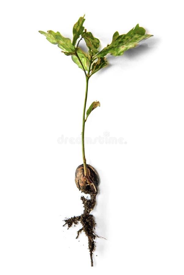 Isolated oak sapling. On white background royalty free stock images
