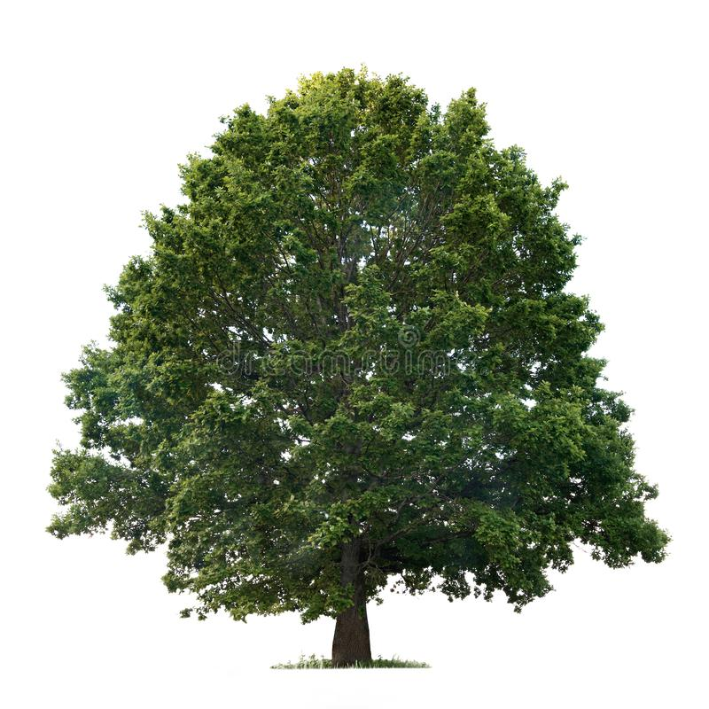Isolated oak tree on a white background stock images