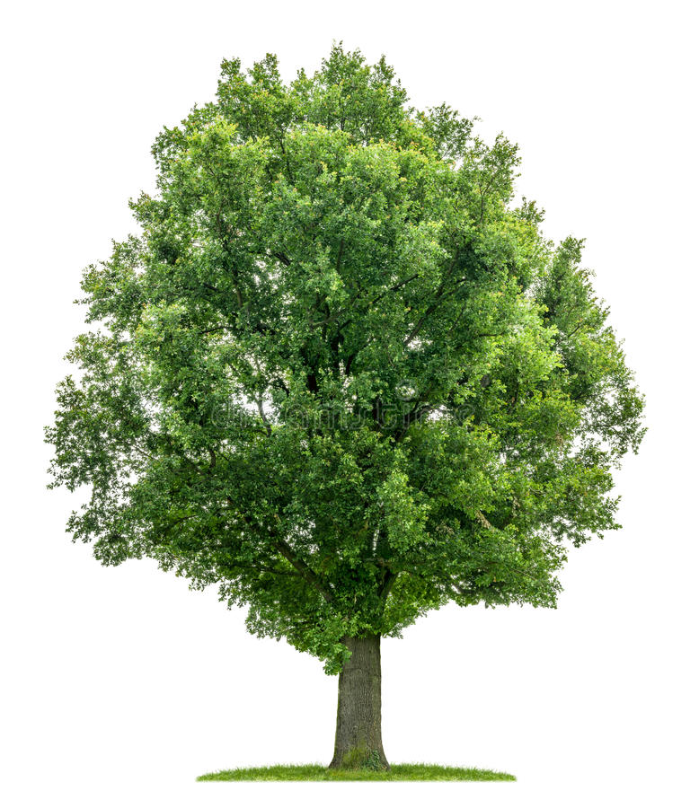 An isolated oak tree royalty free stock image
